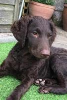 puppy choc lab